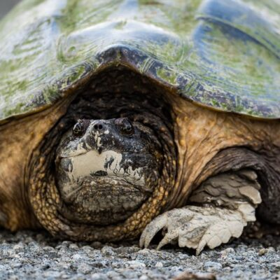 Why Did This Turtle Cross the Road?